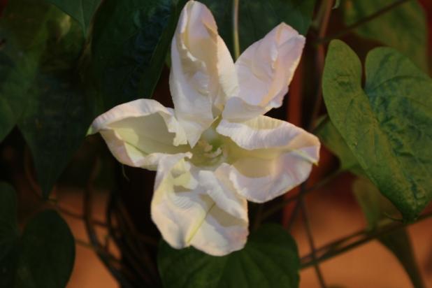 First Moon Flower