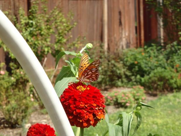 butterfly zinnia sept
