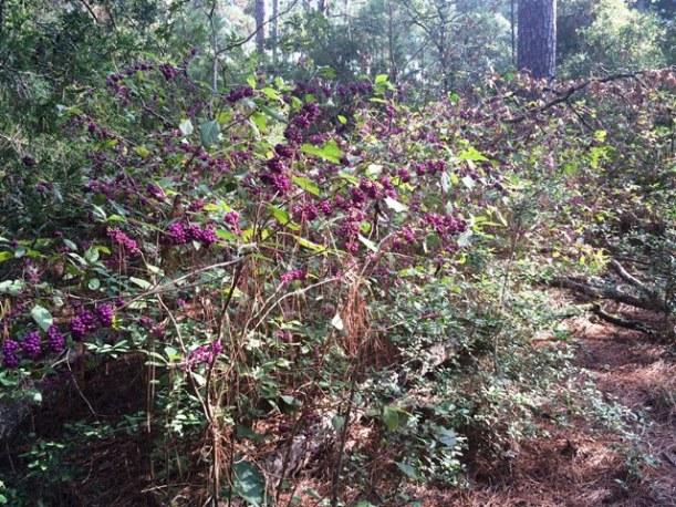 bastrop beautyberry